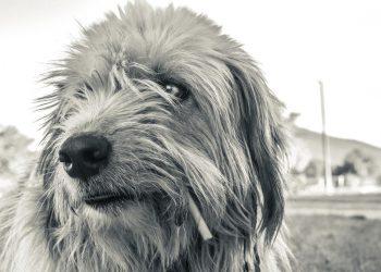 Waschsauger für Tierhaare | Sind lange Haare für Sprühsauger ein Problem?